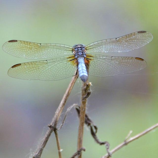 Blue-Dragonfly-7