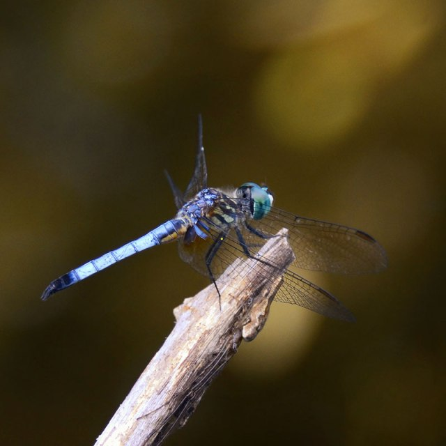Blue-Dragonfly-8