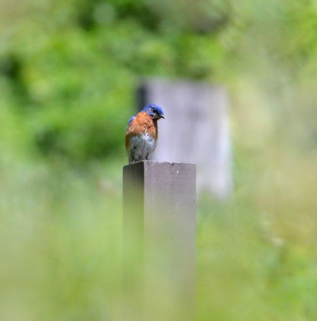 Bluebird-in-the-Mist
