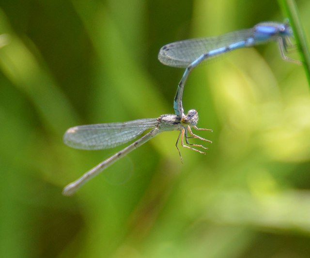 Damselfly-male
