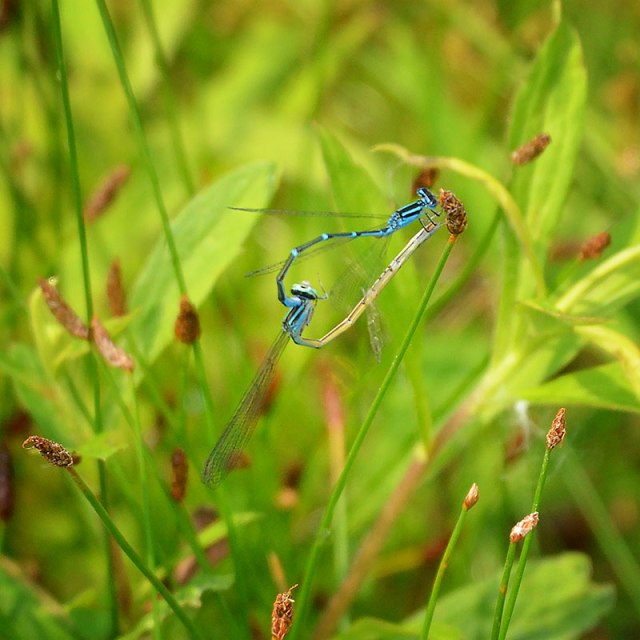 Damselfly-Mating