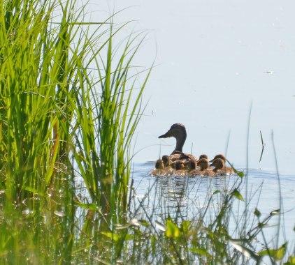 Duck family.