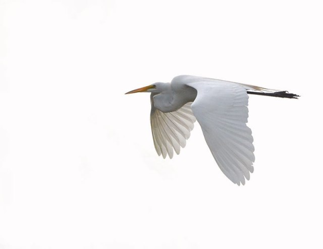 Egret-6-29-14