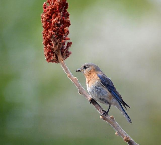 female-bluebird