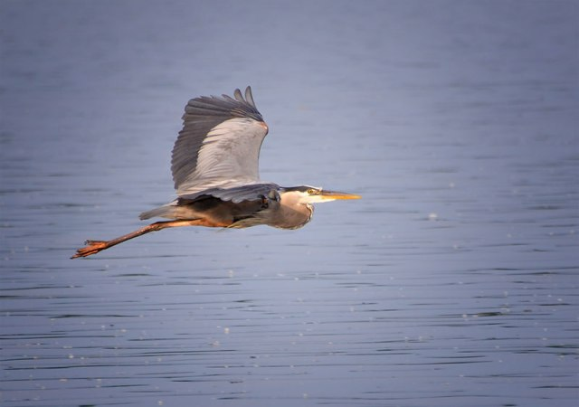 Heron-Flying-6-29-14