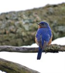 Male-Bluebird-Knox