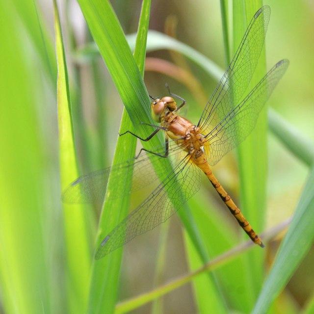 Orange-Dragonfly-2