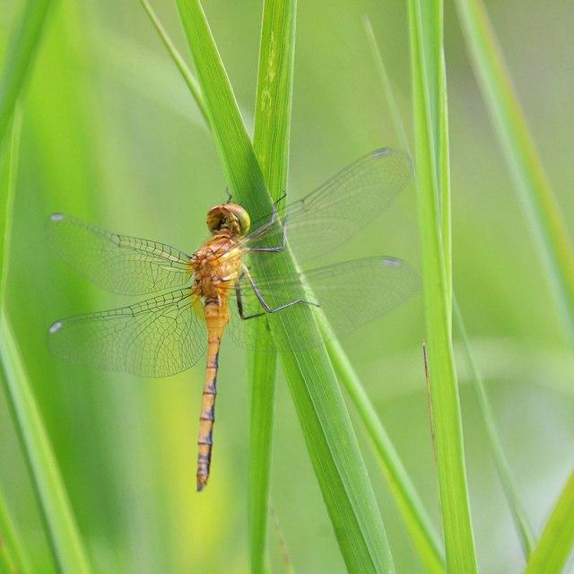 Orange-Dragonfly