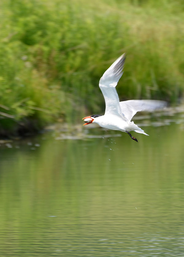 Tern-with-Fish-4