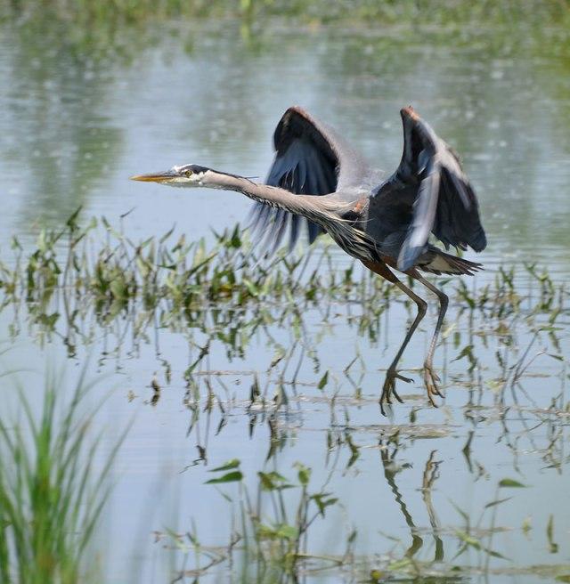 Wet-Heron