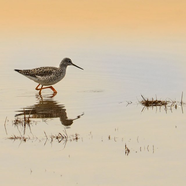 Yellowlegs-2