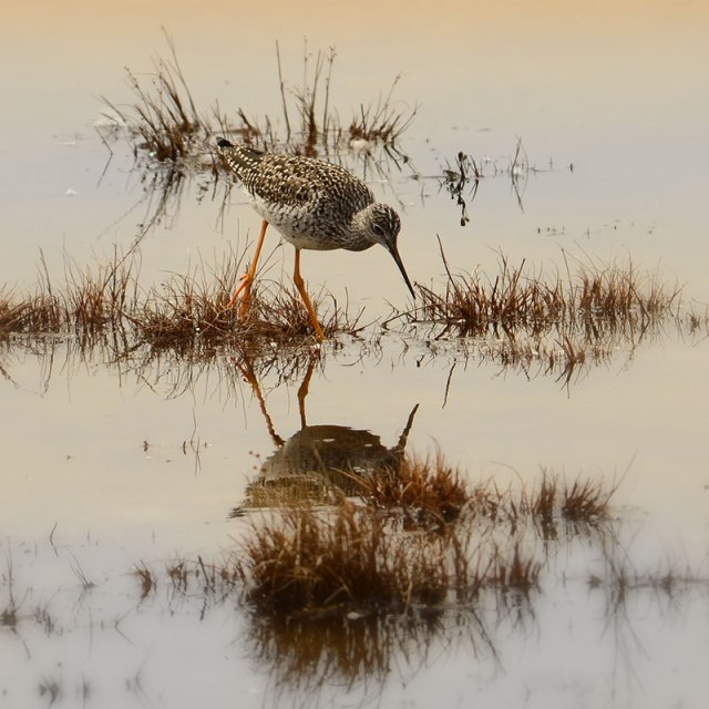 Yellowlegs-3