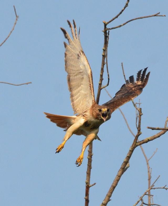 Angry-Hawk