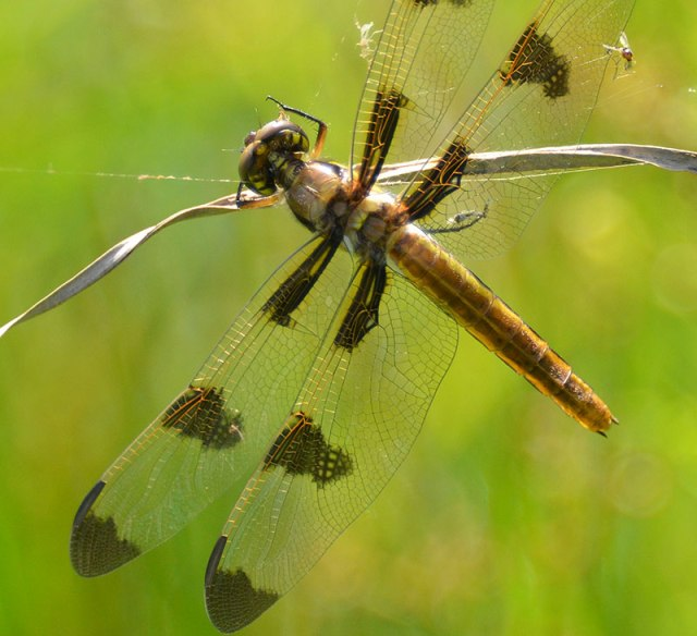 closeup-of-Dragonfly