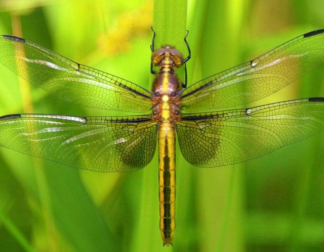 female-libellula-luctuosa