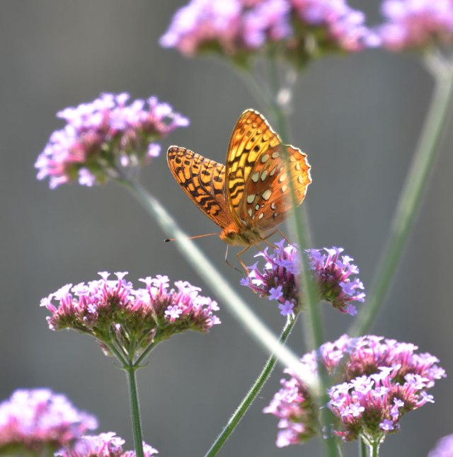 Great Spangled Fritillary-1