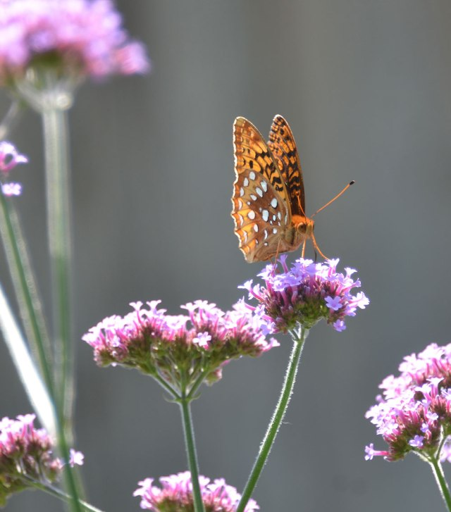 Great Spangled Fritillary-2