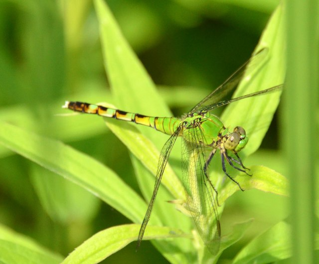 green-dragonfly