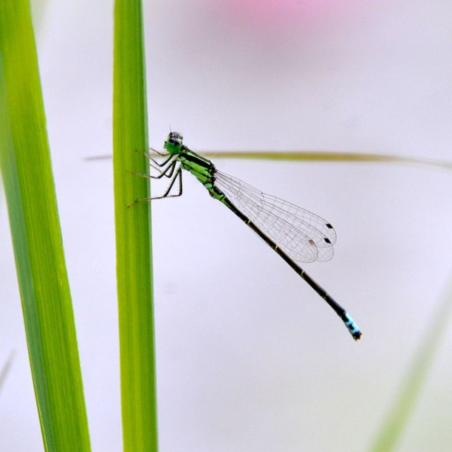 GreenBlack-Damselfly