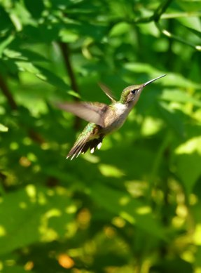 Hummingbird-in-flight-3