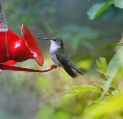 Hummingbird-on-Feeder