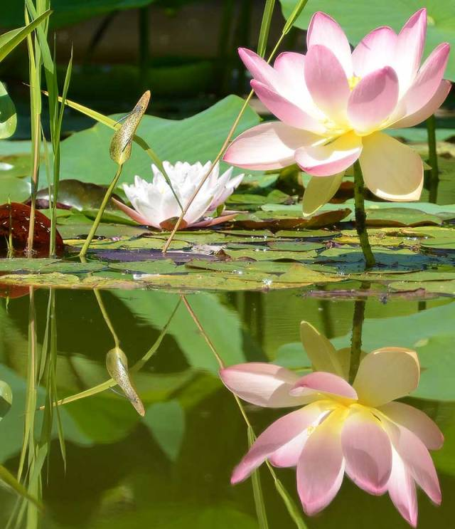 Pink Lotus Reflection