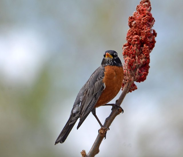 Robin-on-Sumac