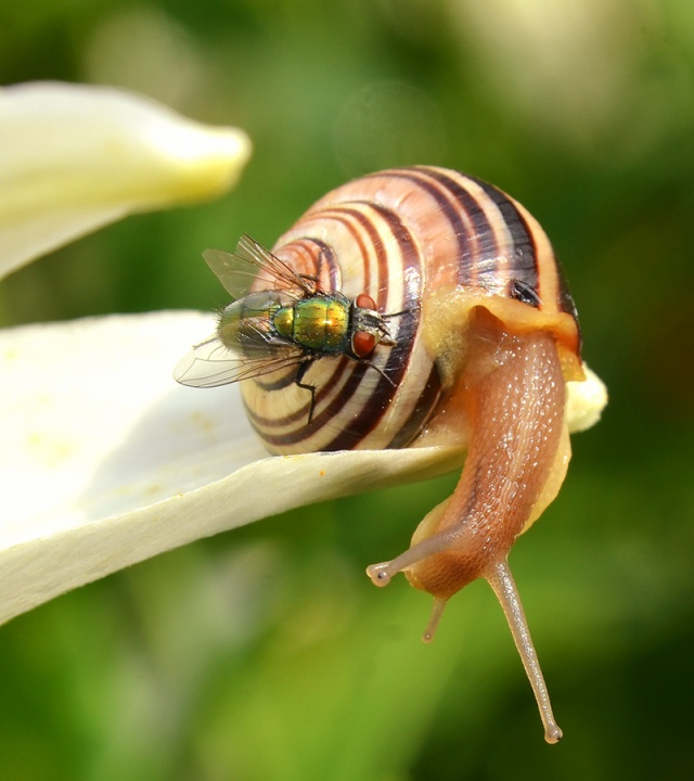 Snail-with-Fly-in-Garden