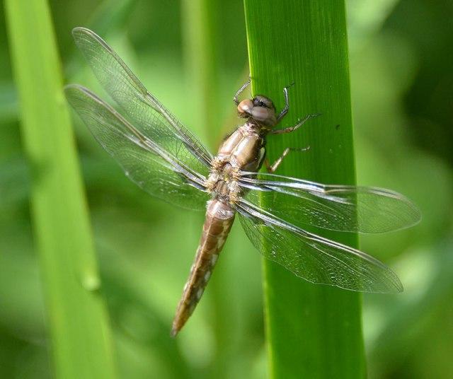 Tan-Dragonfly