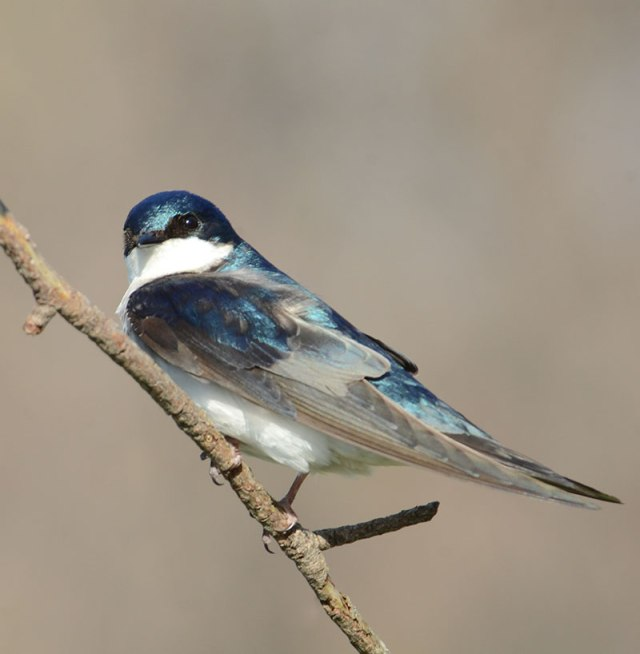 Tree-Swallow