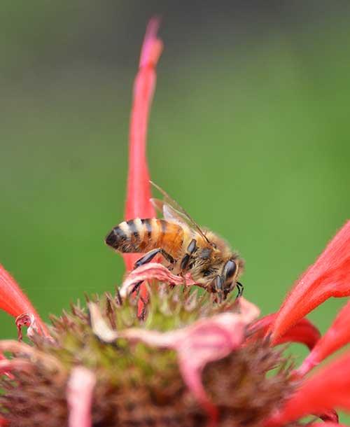 Bee-on-Monarda-0
