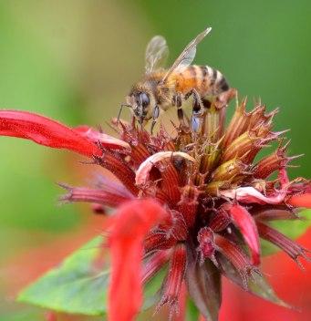 Bee on Monarda