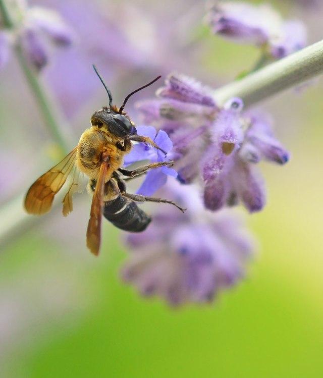 Bee-on-Perovskia