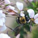 bee-on-spider-flower
