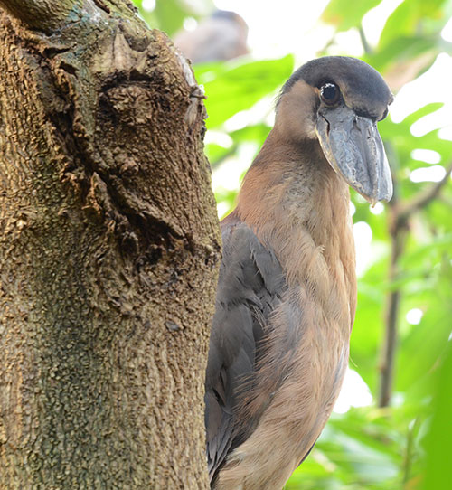 Boat-billed-heron-3
