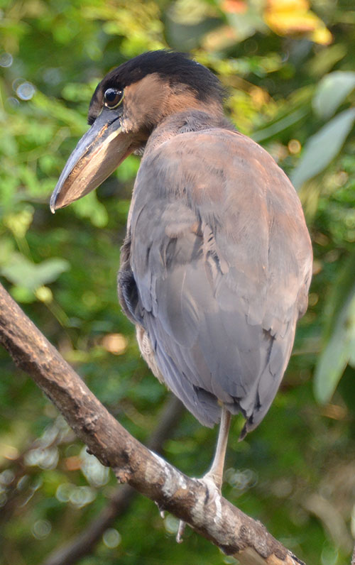 Boat-Billed-Heron-4