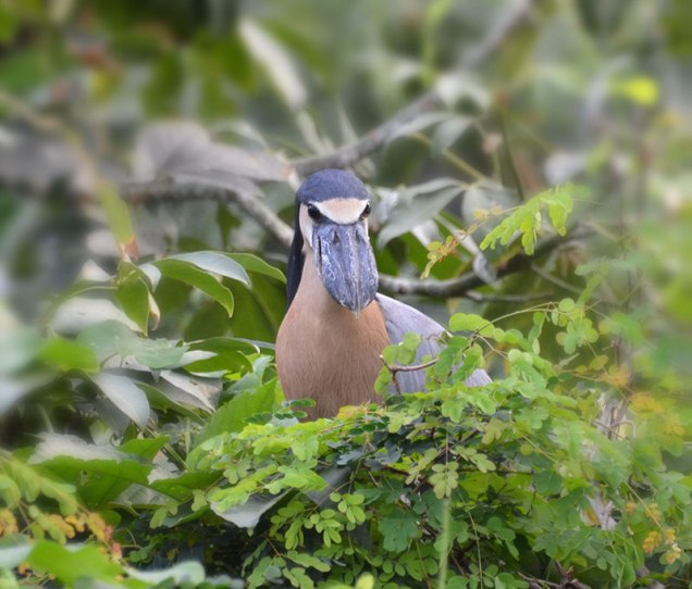 Grouchy looking Boat-billed Heron