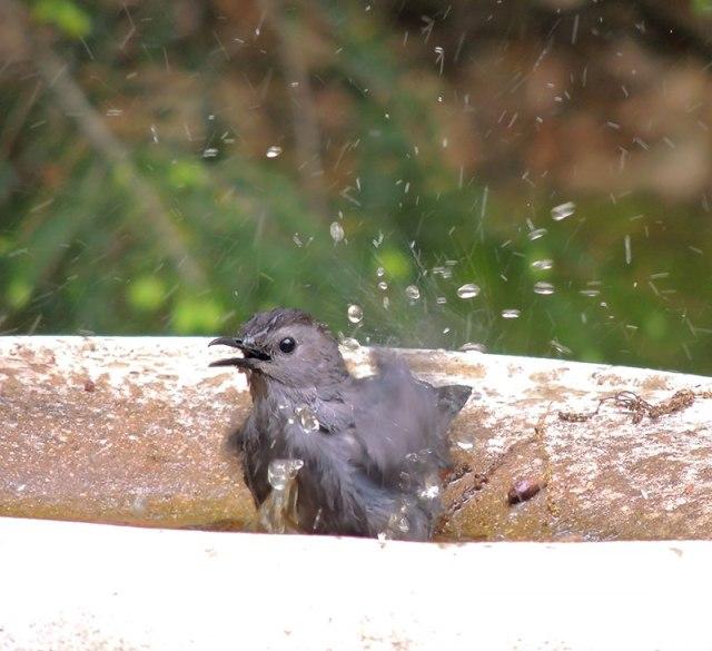 catbird-taking-bath