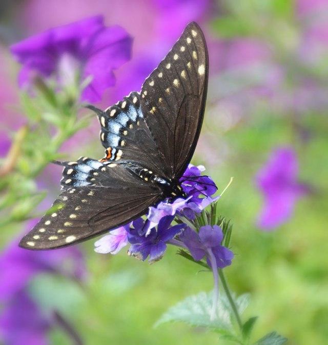 Eastern-Black-Swallowtail-1