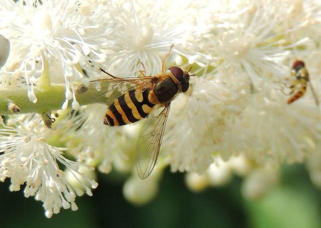 Flowerfly-2
