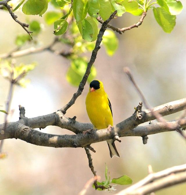 gardenmalegoldfinch
