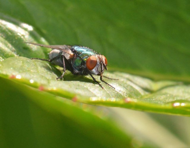 Green-Bottle-fly--2