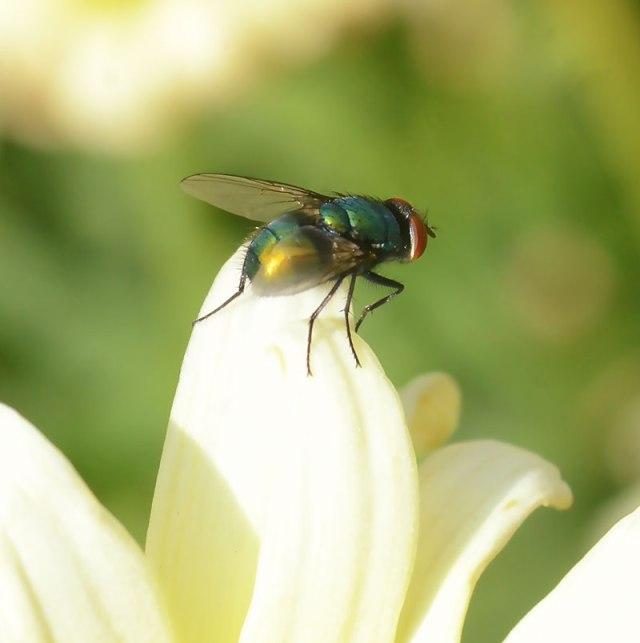 Green-Bottle-Fly-3