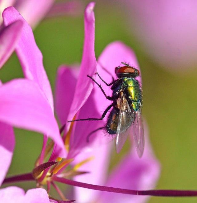 Green-Bottlefly