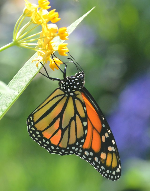 monarch-on-butterfly-weed