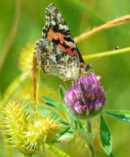 Painted Lady on Purple Clover