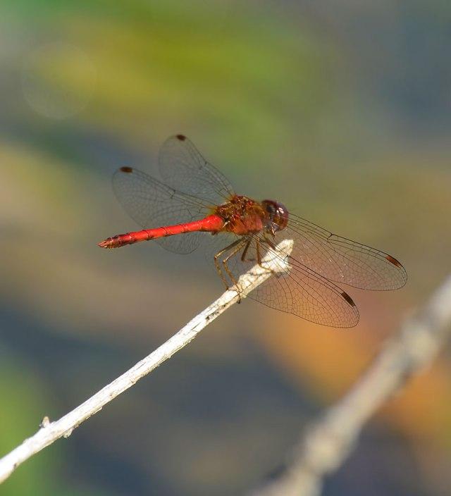 Red-Darter
