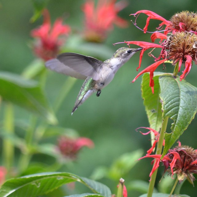Ruby-throated-Hummingbird-1