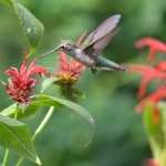 Ruby-throated-Hummingbird-5
