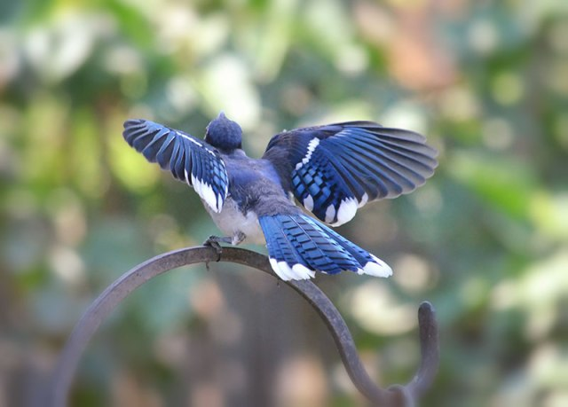 young-blue-jay
